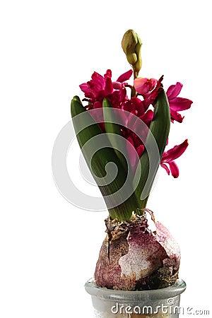 Giacinto rosso magenta