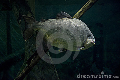 Giant Amazon River Fish Underwater Scene