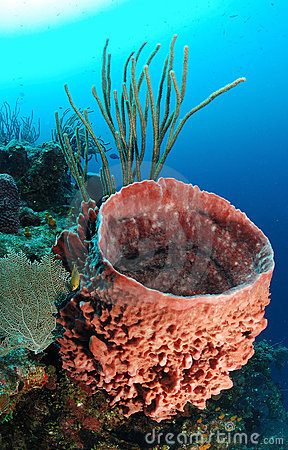 Underwater view of giant barrel sponge in tropical coral reef with
