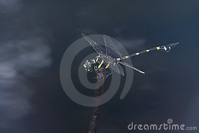 A giant black and yellow dragonfly