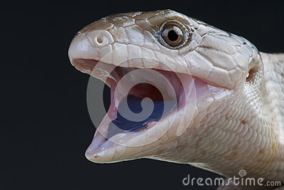 Giant blue-tongued skink / Tiliqua gigas