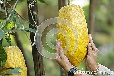 Giant citrus fruit
