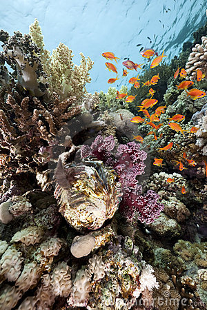 Giant clam and  fish in the Red Sea