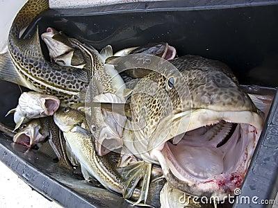 Giant cod head
