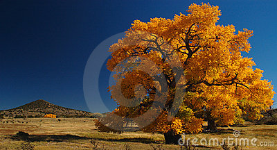 Giant Cottonwood Tree