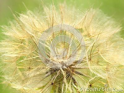Dandelion seed head macrro