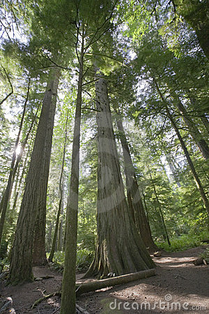 Free Giant Douglas Firs In Temperate Rainforest Stock Photography - 8665932