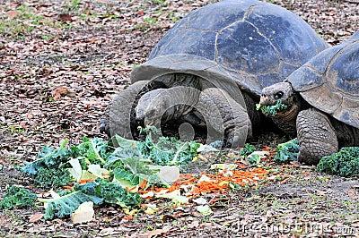 Giant Galapagos Tortoises Eating