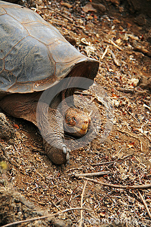 A giant Galapagos turtle