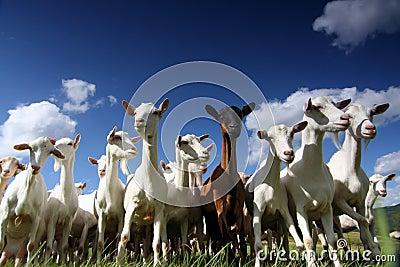 Giant goats