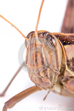 Free Giant Grasshopper Stock Photography - 59143492