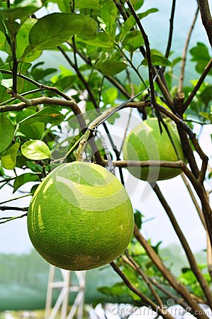 Giant green orange fruit tree in the garden