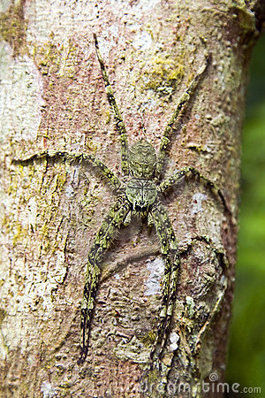 Giant Green Vietnamese Spider