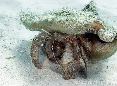 Giant hermit crab in shell, roatan, honduras