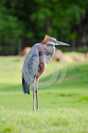 Free Giant Heron Standing Green Background Royalty Free Stock Image - 29368316
