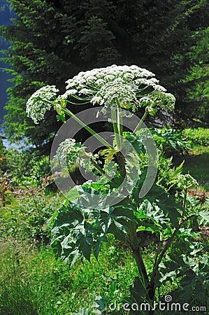 Free Giant Hogweed (Heracleum Sphondylium) Royalty Free Stock Images - 33248649