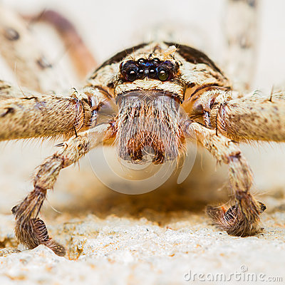 Free Giant House Spider Royalty Free Stock Photography - 29975157