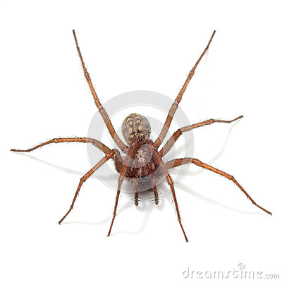 Free Giant House Spider (tegenaria Atrica) Royalty Free Stock Photography - 54812787