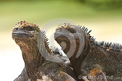 Giant Iguanas with Natural Background