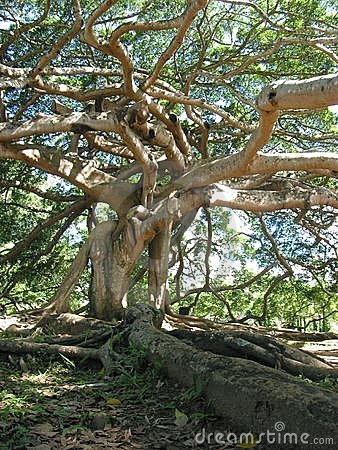 Giant Javan Fig Tree - Roots and branches