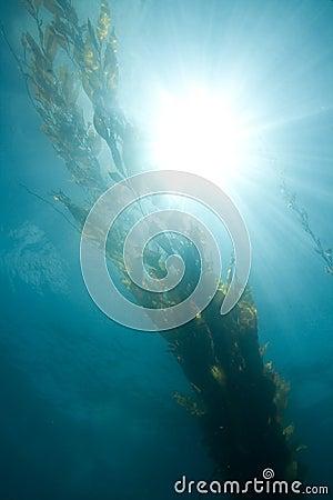 Giant Kelp