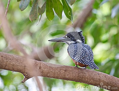 The Giant Kingfisher