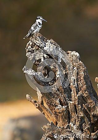 Free Giant Kingfisher Stock Photo - 31504950