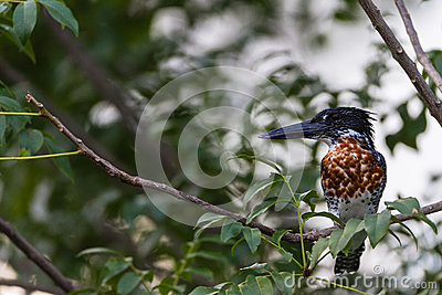 Giant Kingfisher Bird Tree