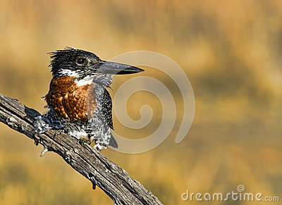 Giant Kingfisher perched