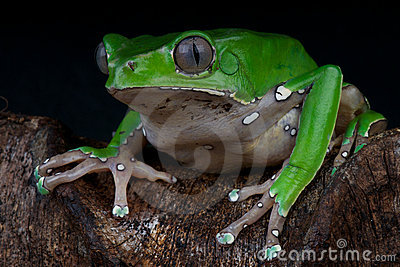 How long is the giant leaf frog?