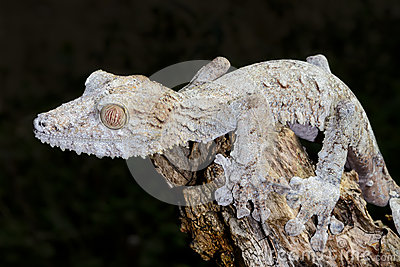 Giant leaf-tail gecko, marozevo