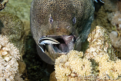 Giant moray (gymnothorax javanicus) and a cleaner