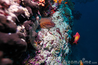 The giant moray and red fish