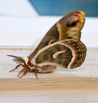 Free Giant Moth Stock Photo - 8708430