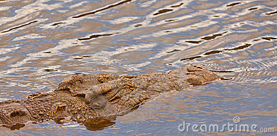 The giant Nile Crocodile