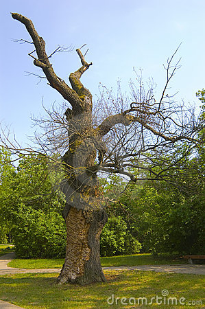 Giant oak in the park