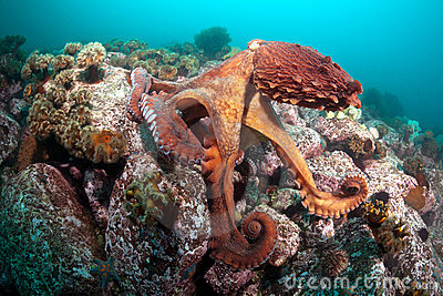 Giant octopus Dofleini