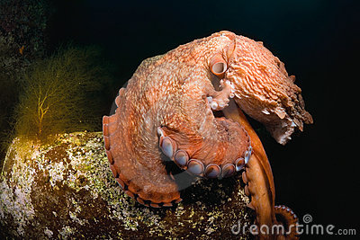 Giant octopus Dofleini sitting on a boulder
