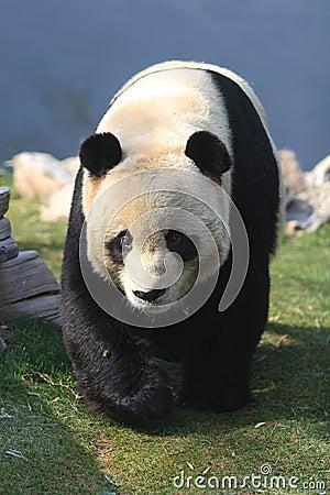 Free Giant Panda Stock Photos - 12994983