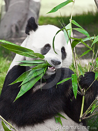 Free Giant Panda Royalty Free Stock Photos - 13303258