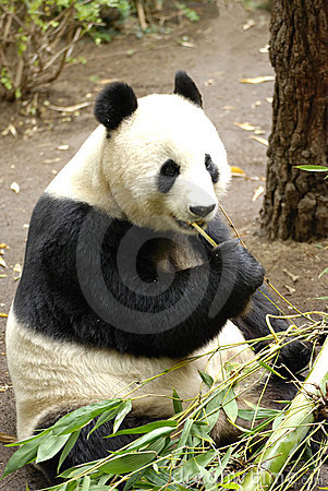 Free Giant Panda Royalty Free Stock Images - 16689089