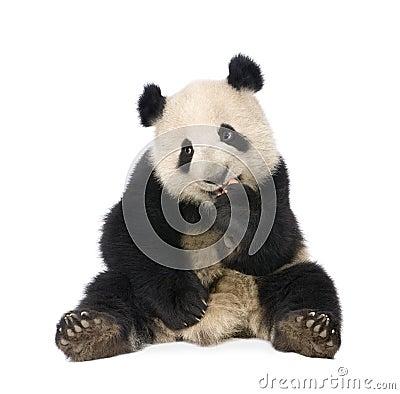 Free Giant Panda (18 Months) - Ailuropoda Melanoleuca Stock Photography - 8193462