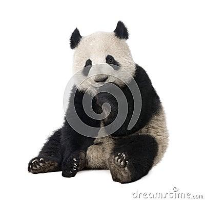 Free Giant Panda (18 Months) - Ailuropoda Melanoleuca Stock Images - 8552514