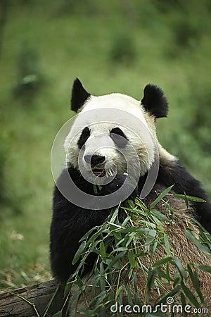 Free Giant Panda Stock Image - 24871
