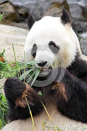 Free Giant Panda Royalty Free Stock Photo - 25340455