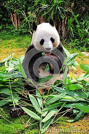 Free Giant Panda Royalty Free Stock Images - 26513469