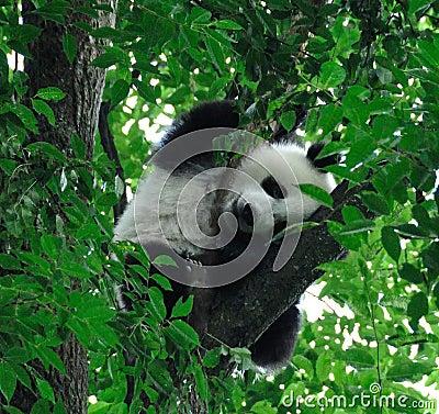 Giant pandas climb sleeping in the tree.