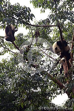 Free Giant Panda Stock Images - 36844664
