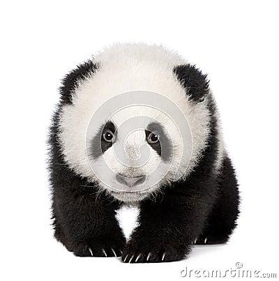Free Giant Panda (4 Months) - Ailuropoda Melanoleuca Stock Image - 8193911
