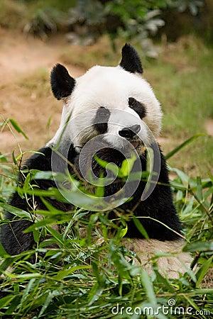 Free Giant Panda Royalty Free Stock Photography - 5475137
